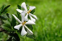 Deux fleurs tropicales contre l'herbe Photographie stock libre de droits