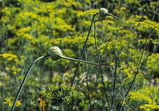 Deux fleurs vertes d'ail sur un fond jaune et vert brouillé des fleurs d'aneth dans un jardin en été image stock