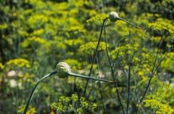 Deux fleurs vertes d'ail sur un fond jaune et vert brouillé des fleurs d'aneth dans un jardin en été image libre de droits