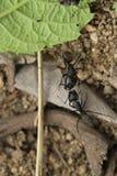 Deux fourmis de combat photos libres de droits