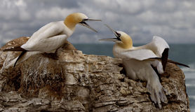 Deux fous de Bassan femelles Photos stock