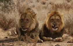 Deux frères de lion dans le Kgaligadi Photos stock
