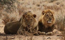 Deux frères de lion dans le Kgaligadi 3 Photos libres de droits