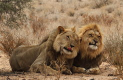 Deux frères de lion dans le Kgaligadi 4 Images stock
