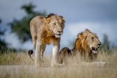 Deux frères de lion sur la route Photographie stock