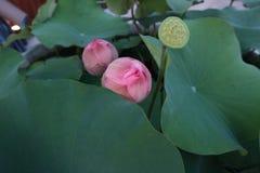 Deux frais Lotus, lotus rose sur le vert quitte le fond et le parc extérieur Photo libre de droits