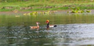 Deux fulugules milouins à crête rouge, migrateurs, oiseau, canard de plongée Photo libre de droits