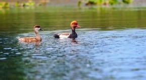 Deux fulugules milouins à crête rouge, migrateurs, oiseau, canard de plongée, Rhodoness Photographie stock