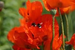 Deux gaffent des abeilles Photographie stock libre de droits