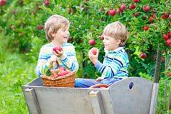 Deux garçons heureux adorables de petits enfants sélectionnant et mangeant les pommes rouges à la ferme organique Photo libre de droits