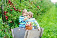 Deux garçons heureux adorables de petits enfants sélectionnant et mangeant les pommes rouges à la ferme organique Images libres de droits