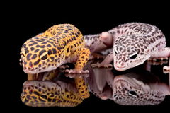 Deux geckos de léopard photographie stock libre de droits