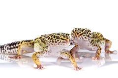 Deux geckos de léopard photo stock