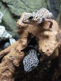 Deux geckos de léopard photographie stock