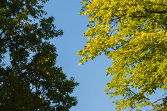 Deux genres différents de branches vertes et de ciel bleu Photos libres de droits