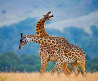 Deux girafes dans la savane kenya tanzania La Tanzanie Images libres de droits