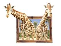 Deux girafes dans le cadre en bambou avec l'effet 3d Photo stock