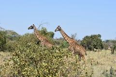 Deux girafes marchant dans la synchronisation dans Serengeti, Tanzanie photographie stock