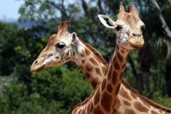 Deux giraffes Images libres de droits