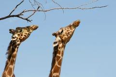 Deux giraffes Photographie stock libre de droits