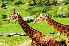 Deux giraffes Photographie stock