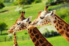 Deux giraffes Photo libre de droits