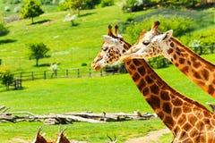 Deux giraffes Photos stock
