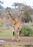 Deux giraffes Photos stock