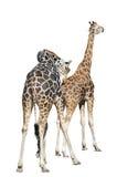 Deux giraffes d'isolement sur le fond blanc Images stock