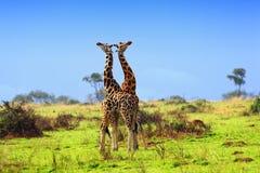 Deux giraffes dans la savane africaine Images stock