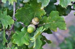 Deux glands verts (noix de chêne) Photo stock