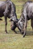 Deux gnous de lutte environ pour heurter leurs têtes contre chacun Photos stock