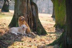 Deux golden retriever sur le parc Image stock