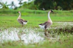 Deux gooses Photo stock