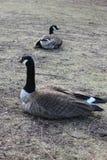 Deux Gooses tournant au ralenti sur la banque de lac dans le Central Park, New York Photos libres de droits