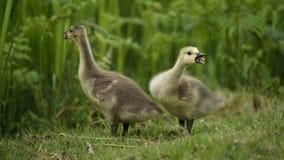 Deux Gosling pleurent pour la maman images stock
