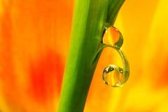 Deux gouttes des tulipes Photos libres de droits