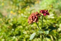 Deux graces fanées - roses Photographie stock