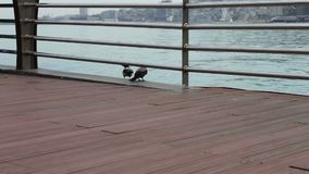 Deux grandes corneilles noires se reposent sur un rivage du remblai de Mer Caspienne, à Bakou banque de vidéos