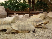 Deux grandes tortues Photo libre de droits
