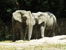 Deux grands éléphants énormes ensemble dans la fin d'amour Photo libre de droits