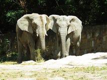 Deux grands éléphants énormes ensemble dans la fin d'amour Photographie stock libre de droits