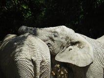 Deux grands éléphants énormes ensemble dans la fin d'amour Photographie stock