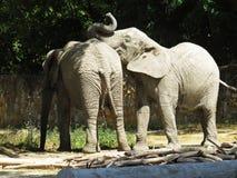 Deux grands éléphants énormes ensemble dans la fin d'amour Photo stock