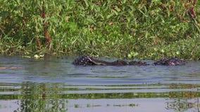 Deux grands alligators combattent pendant la saison d'accouplement clips vidéos