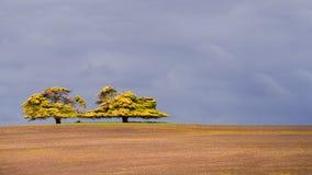 Deux grands arbres d'ombrage Images libres de droits