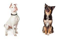 Deux grands chiens reposant la recherche avec l'espace de copie Photographie stock