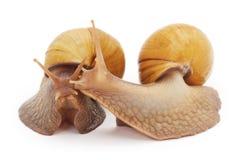 Deux grands escargots Photographie stock libre de droits