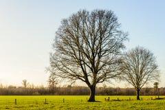 Deux grands et arbres sans feuilles dans un paysage rural plat Photo libre de droits