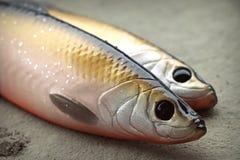 Deux grands harengs de pêche mous réalistes d'attraits images libres de droits